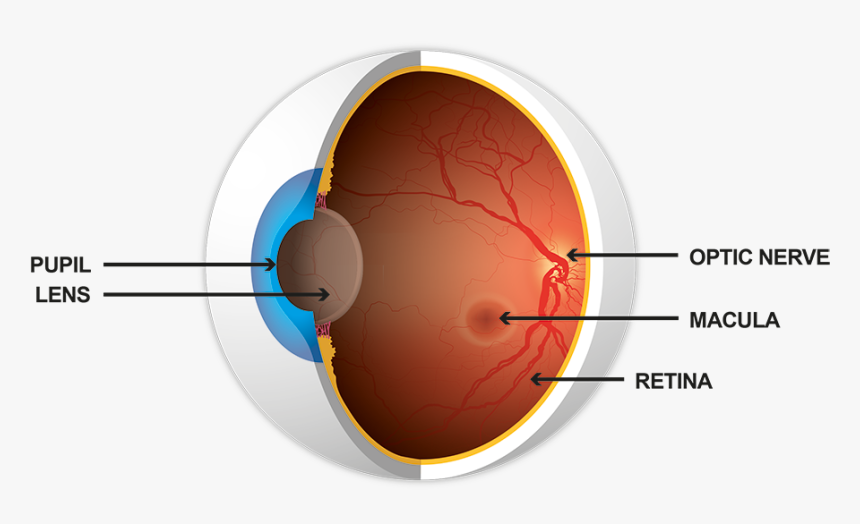 Illustration Showing Cross-section Of The Eye, Including - Circle, HD Png Download, Free Download