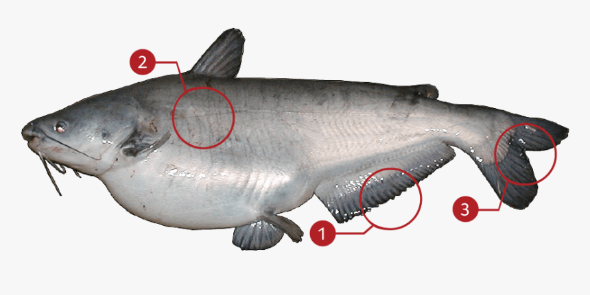 Catfish Png, Transparent Png, Free Download