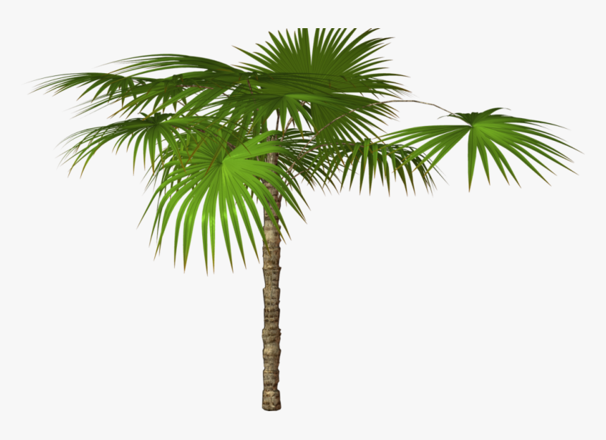 Tree,plant,palm Tree,arecales,desert Palm,sabal Palmetto,woody - High Resolution Png Images Free Download, Transparent Png, Free Download