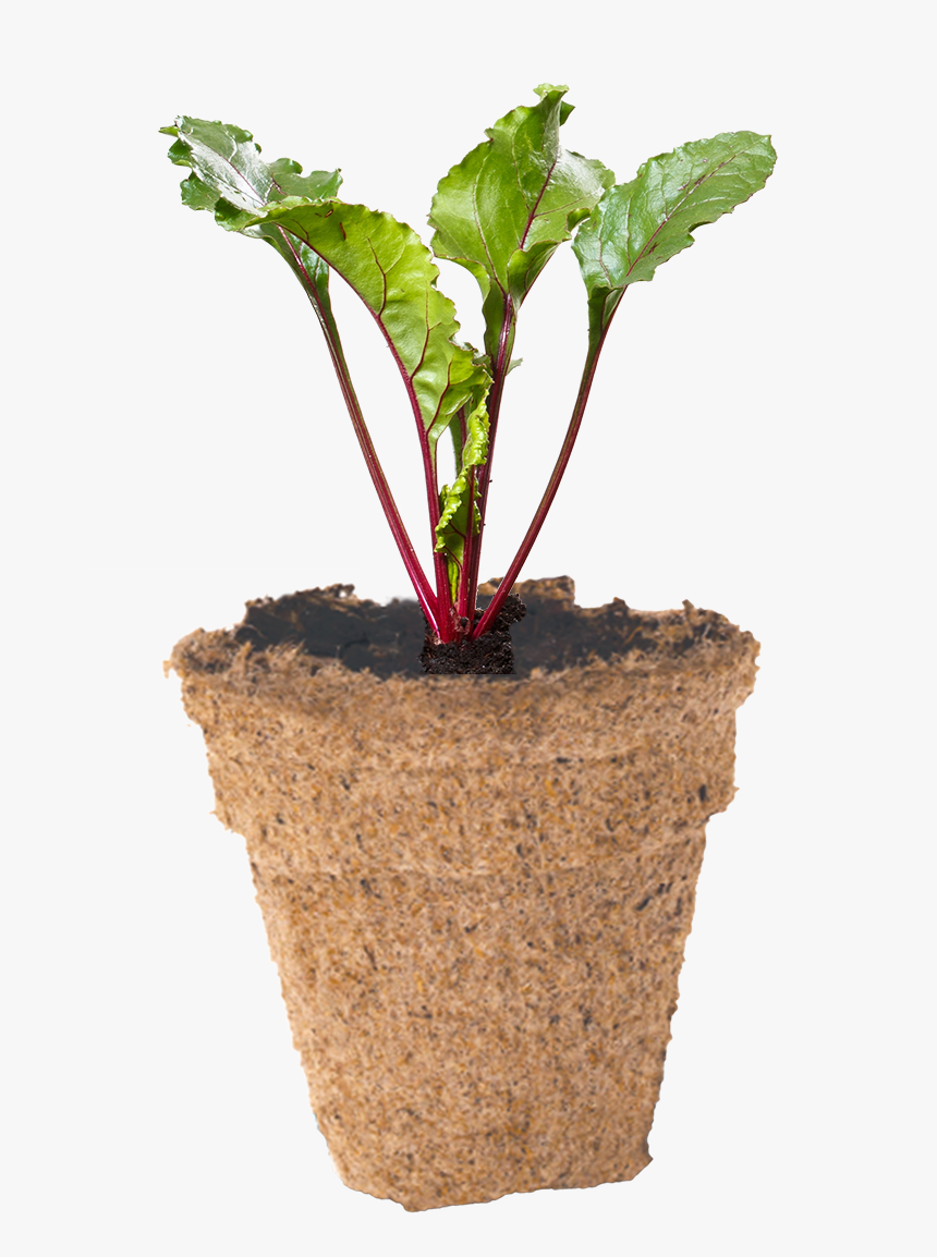 Beetroot Seedling In Biodegradable Peat Pot - Houseplant, HD Png Download, Free Download