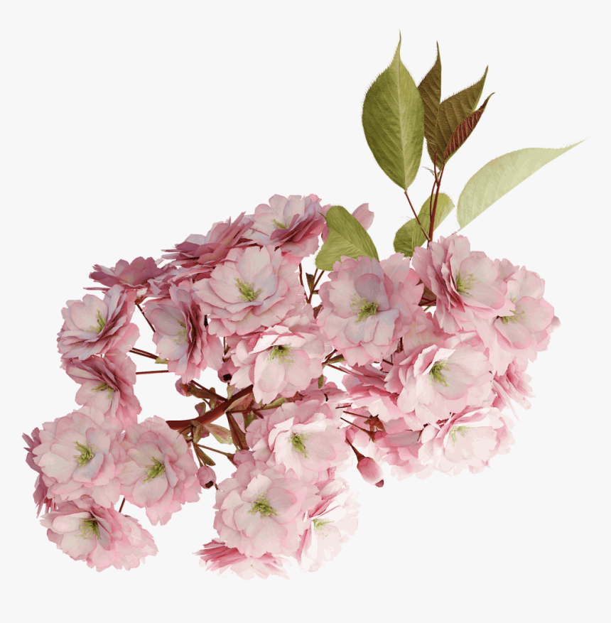Cherry Tree Branch Blossom Png, Transparent Png, Free Download