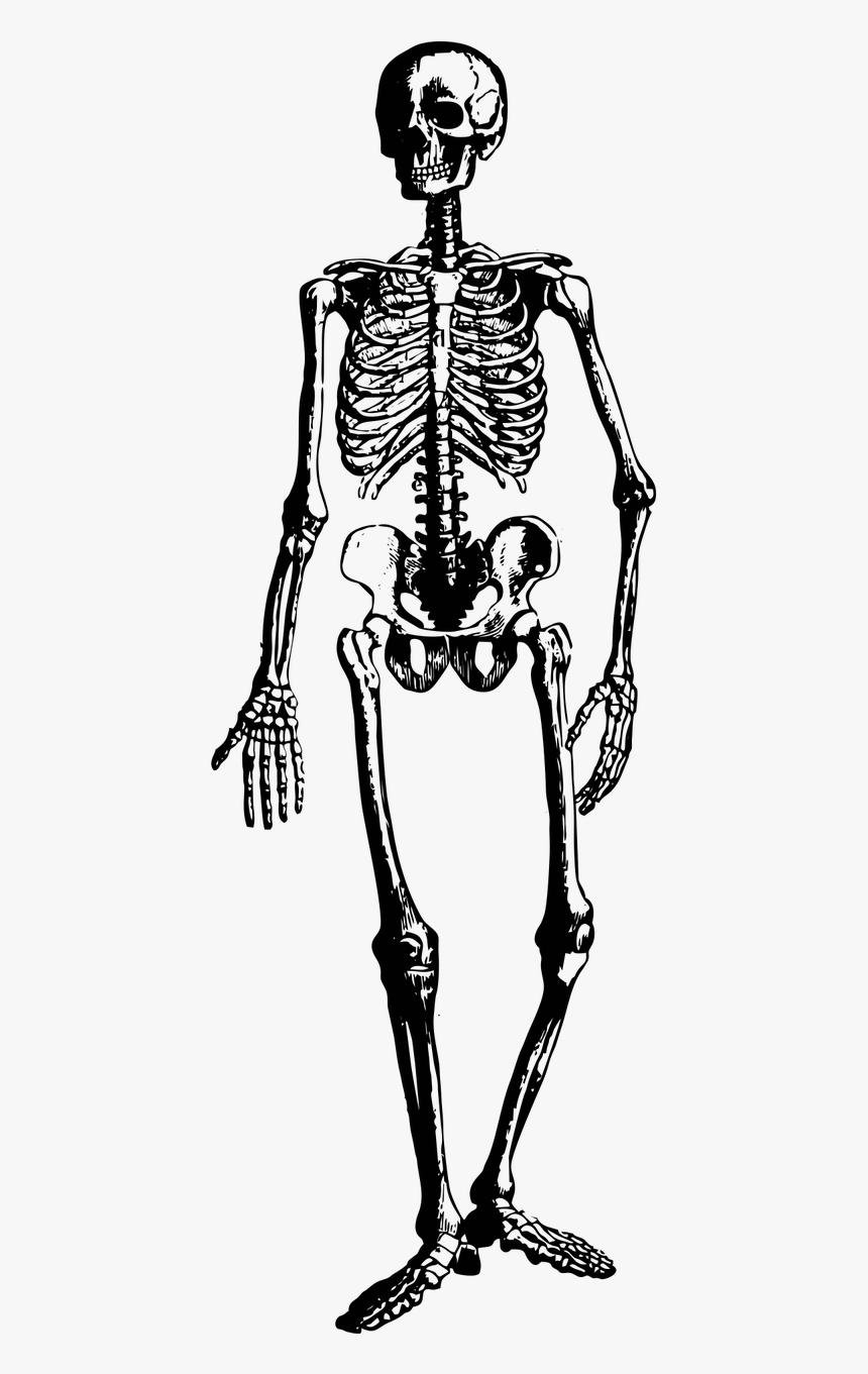 Skeleton Halloween Spooky Free Photo - Vintage Clipart Skeleton, HD Png Download, Free Download