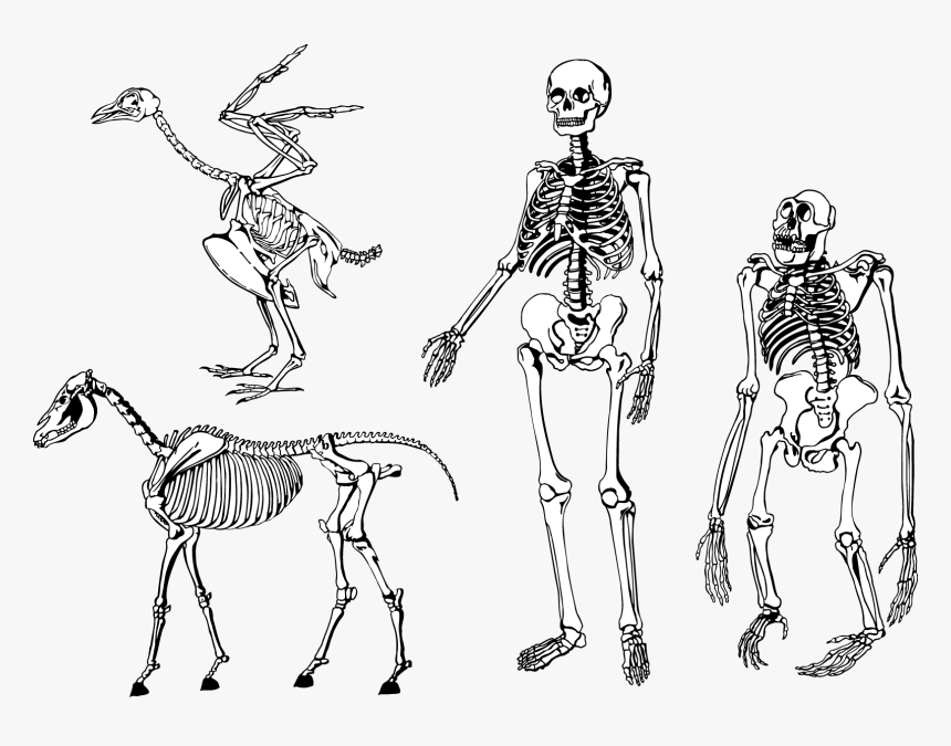 Bones Skeleton Vector Png - Human And Animal Skeleton, Transparent Png, Free Download