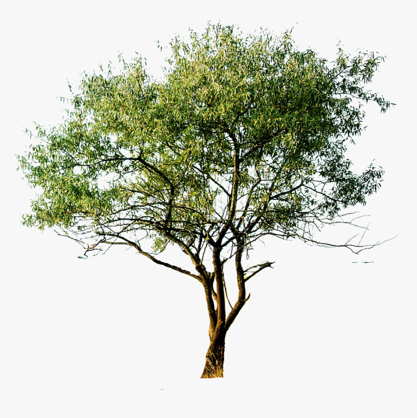 Transparent Aspen Tree Png - Hand Drawn Tree Png, Png Download, Free Download