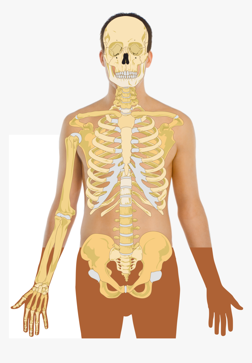human anatomy vector body template with skeleton hd png download kindpng human anatomy vector body template