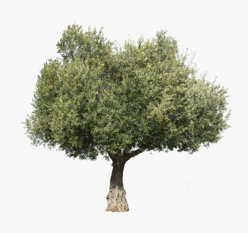 Olea Europaea Iii - Olive Tree Cut Out, HD Png Download, Free Download