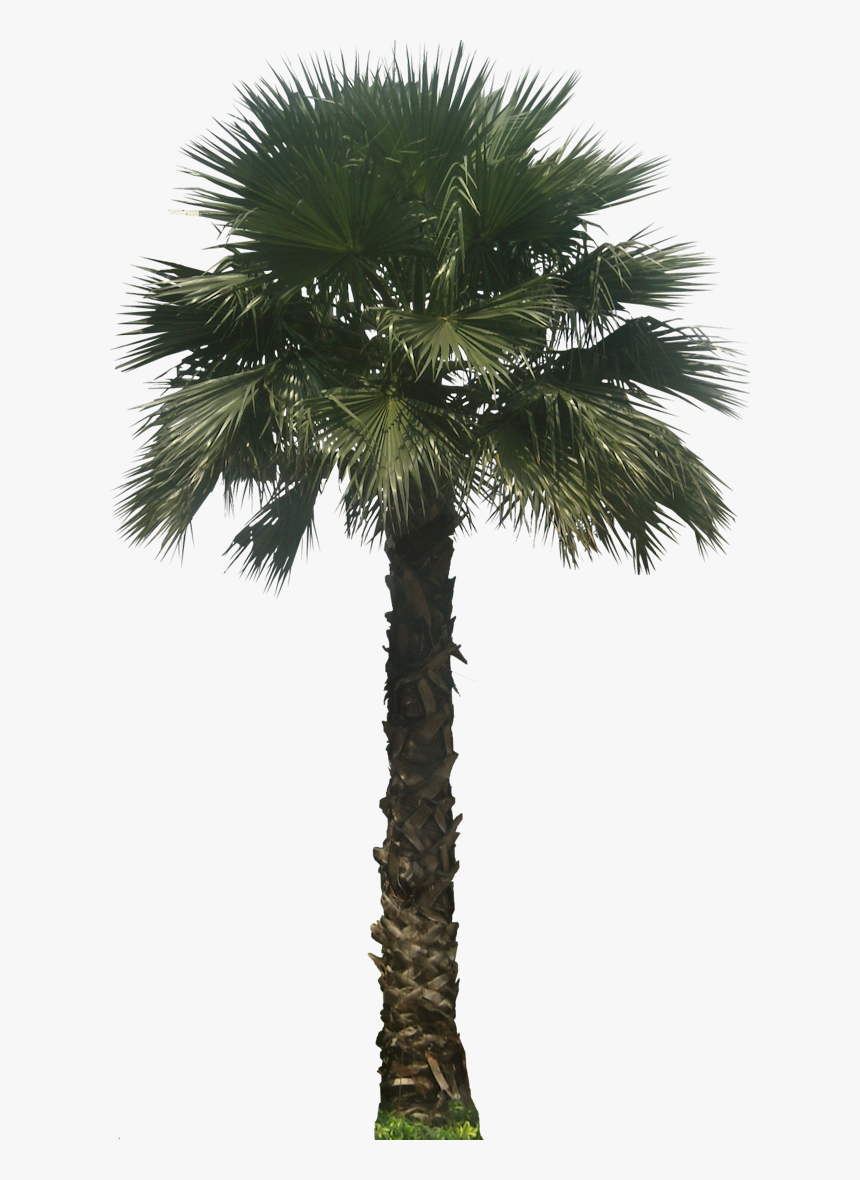 Potted Palm Tree Transparent Background, HD Png Download, Free Download