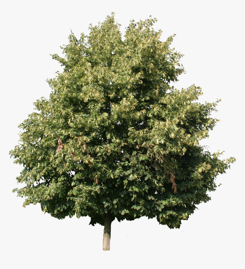 Linden Tree Cut Out , Png Download - Linden Tree Cut Out, Transparent Png, Free Download