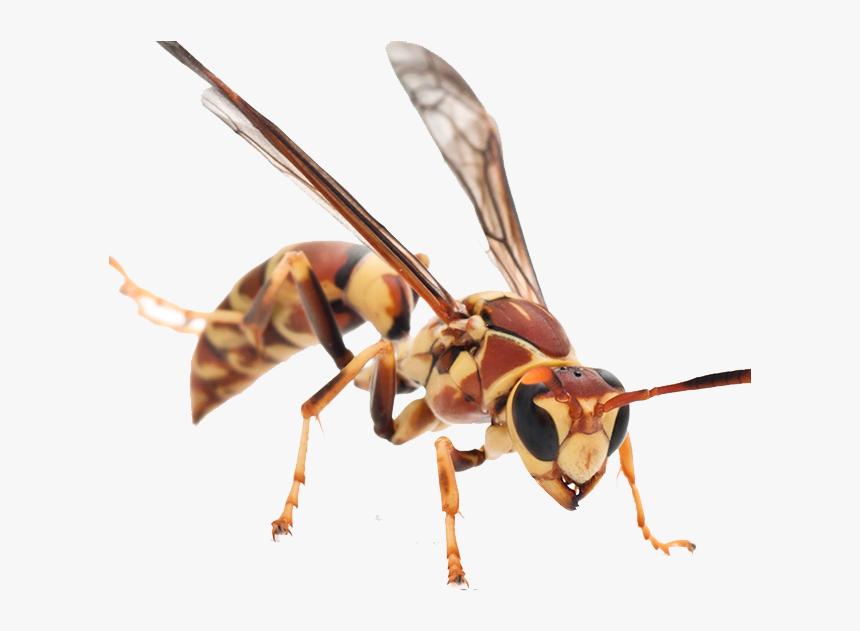 Hornet Png Background - Six Leg Animals, Transparent Png, Free Download