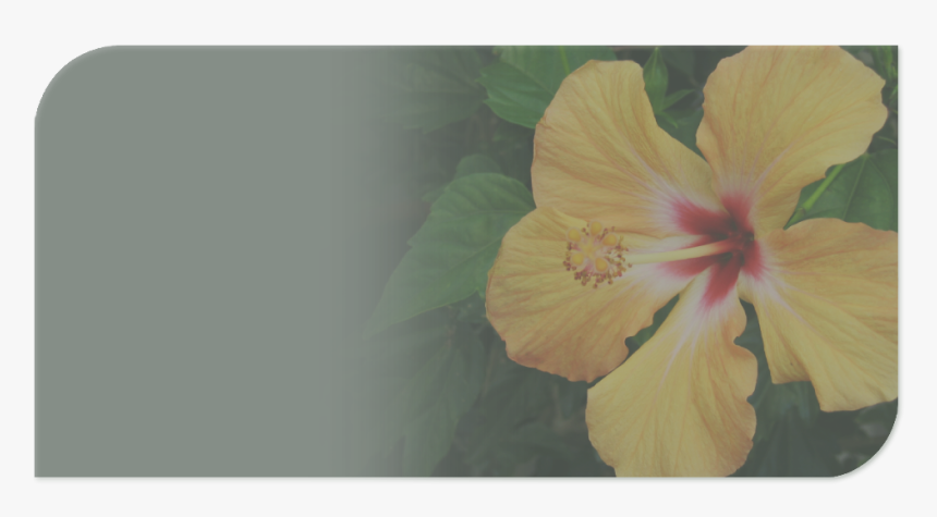 Hibiscus, HD Png Download, Free Download