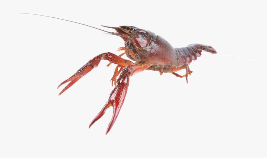Crawfish Png Free Download Live Crawfish Transparent Png Kindpng