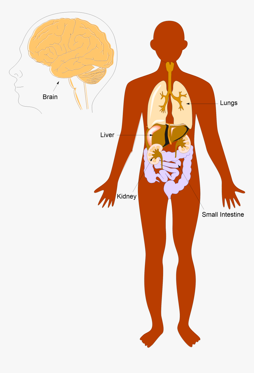 Anatomy Pic Labeled - Human Body Cartoon Png, Transparent Png, Free Download