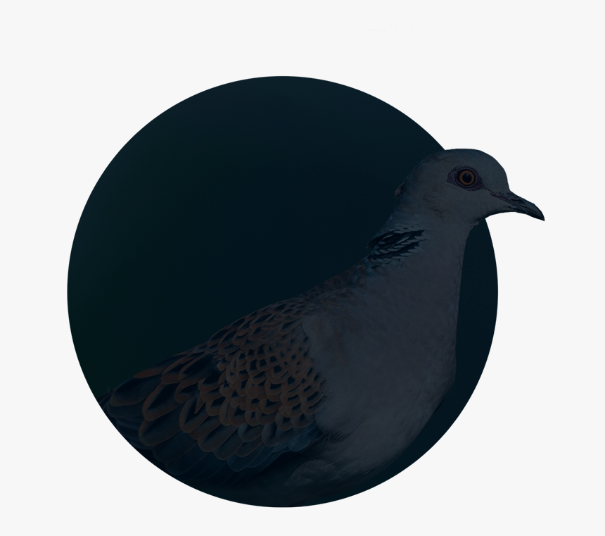 Stock Dove, HD Png Download, Free Download