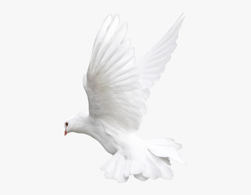 White Flying Pigeon Png Image - White Dove Png Transparent, Png Download, Free Download