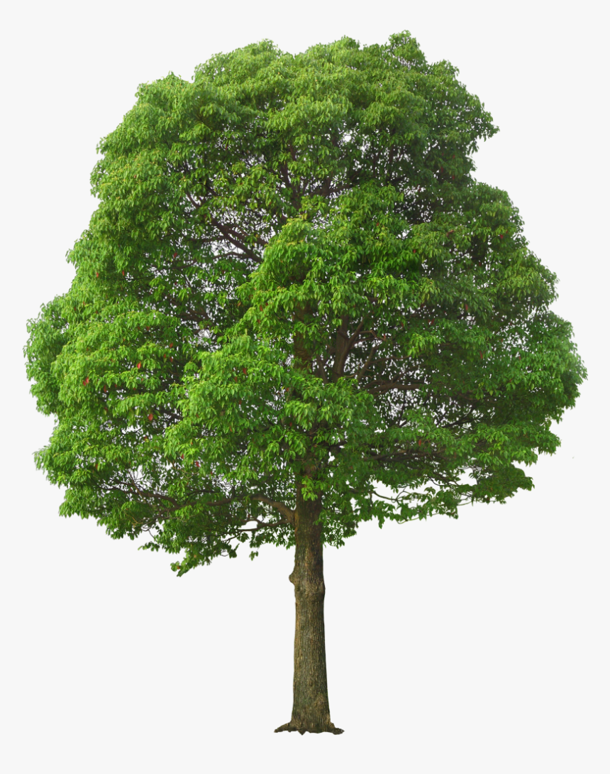 Oak Tree Png - Large Tree Png, Transparent Png, Free Download