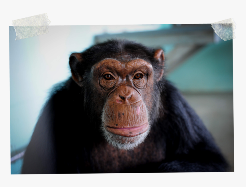 3 - Common Chimpanzee, HD Png Download, Free Download