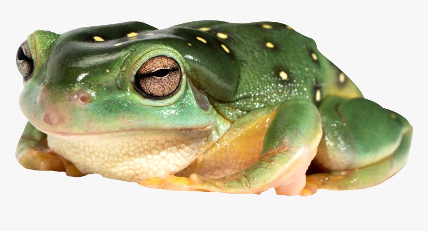 Frog Png - Transparent Frog Images Png, Png Download, Free Download