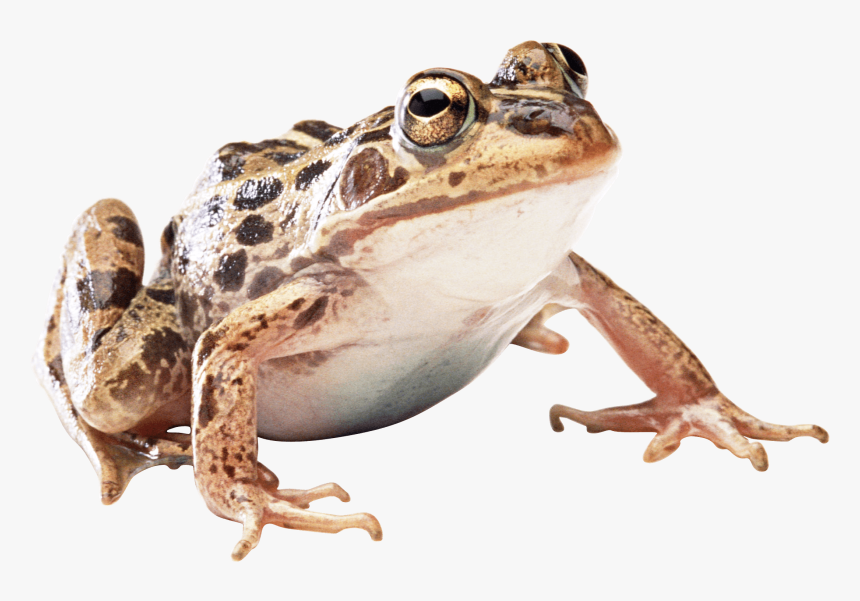 Brown Frog - Wood Frog Transparent Background, HD Png Download, Free Download