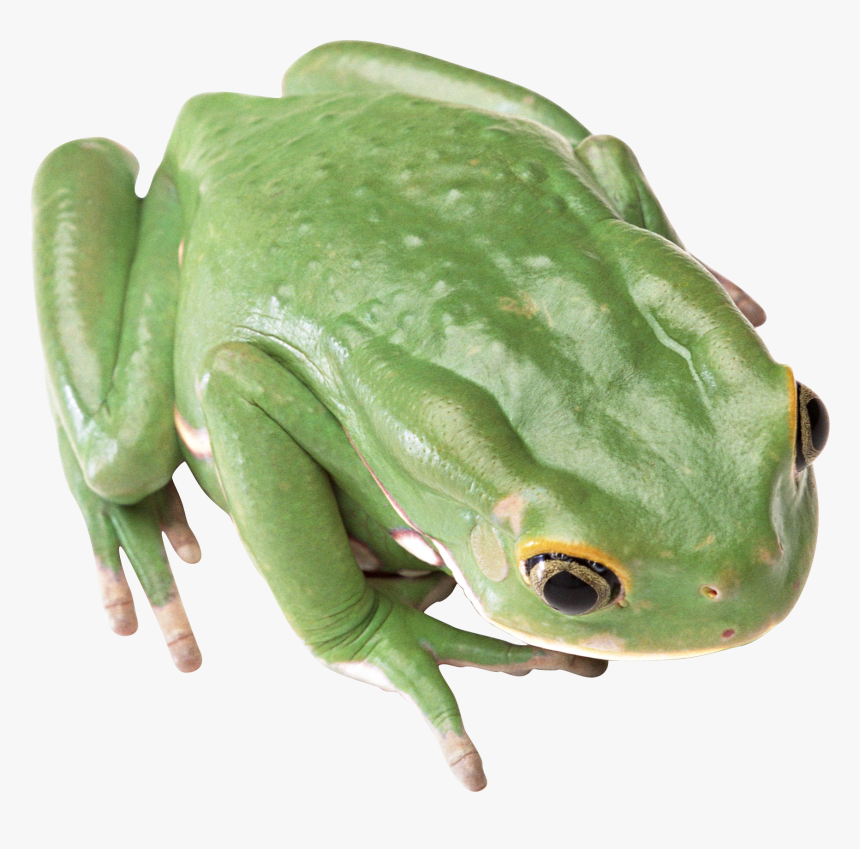 Frogs With No Backgrounds, HD Png Download, Free Download