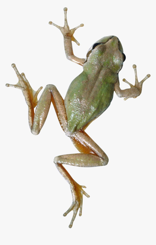 Frog Png - Tree Frog Transparent Background, Png Download, Free Download