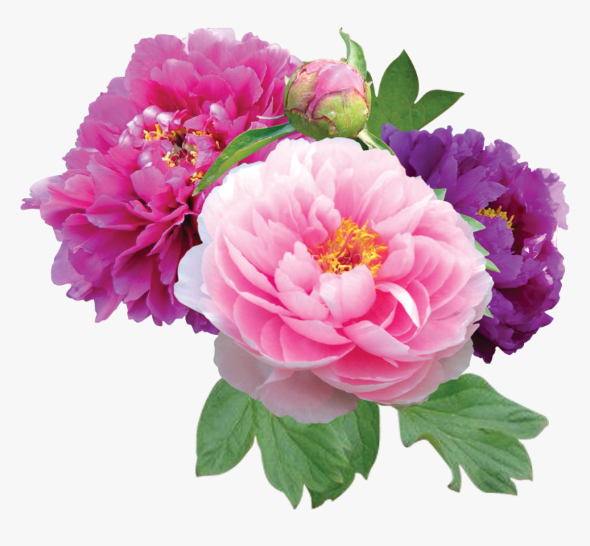 Peonies Png File - Peony Png, Transparent Png, Free Download