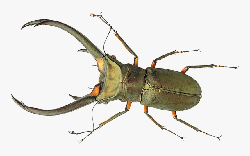 Beetle Portable Network Graphics True Bugs Transparency - Bug Png, Transparent Png, Free Download