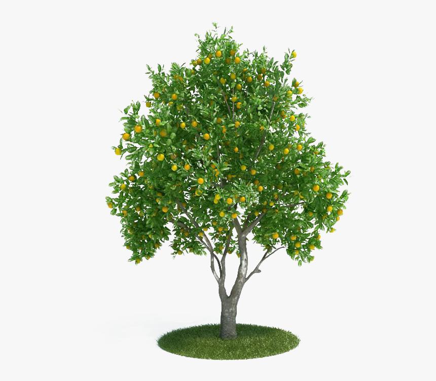 Citrus × Sinensis Tangerine 3d Modeling 3d Computer - Orange Tree Png, Transparent Png, Free Download