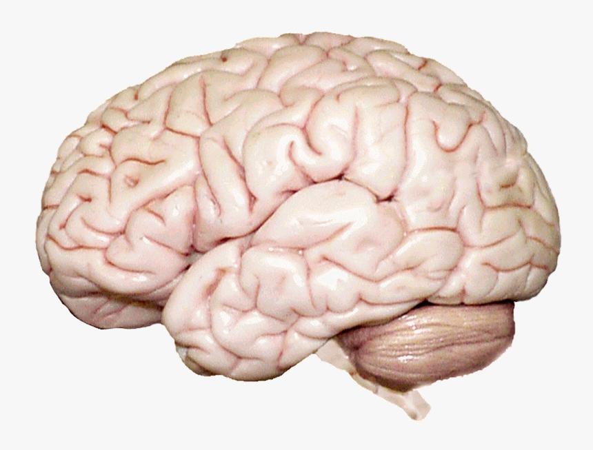 Psychology Chapter 2 Human Brain - Human Brain, HD Png Download, Free Download