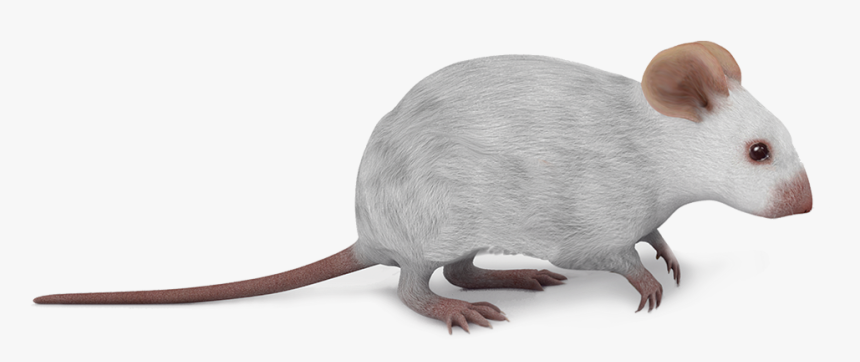 Marsh Rice Rat, HD Png Download, Free Download