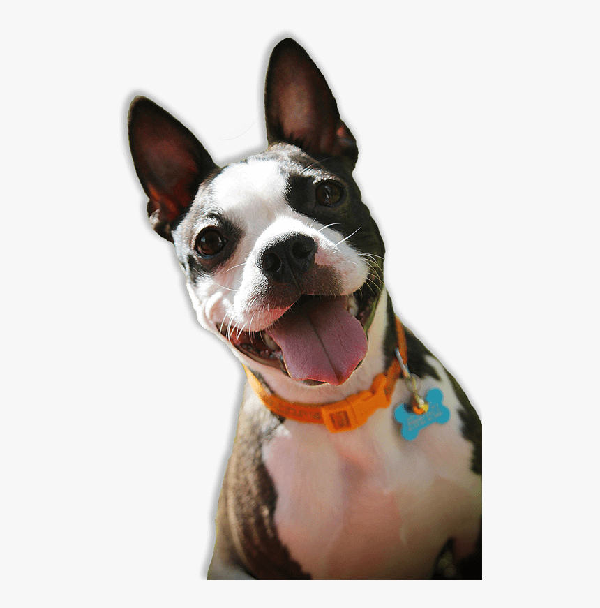 Boston Terrier Rescue Florida, HD Png Download, Free Download