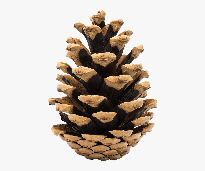 Cone, Pine, Nature, Ihličnan, Fir, Tree, Christmas - フリー 素材 イラスト まつぼっくり, HD Png Download, Free Download