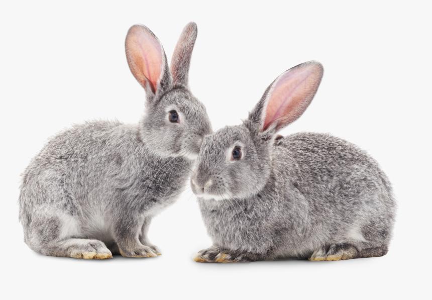 Rabbit Png, Transparent Png, Free Download