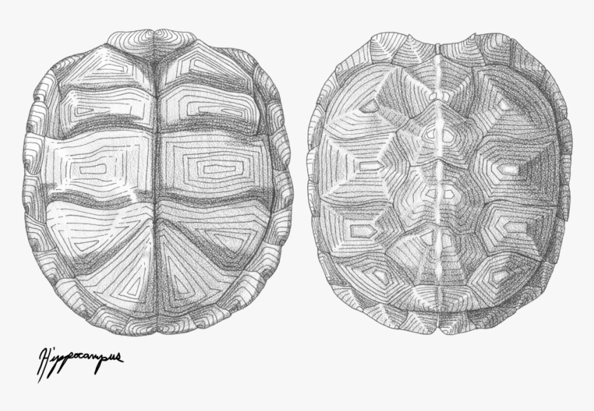 Drawing Shells Scientific Illustration - Turtle Shell Texture Drawing, HD Png Download, Free Download