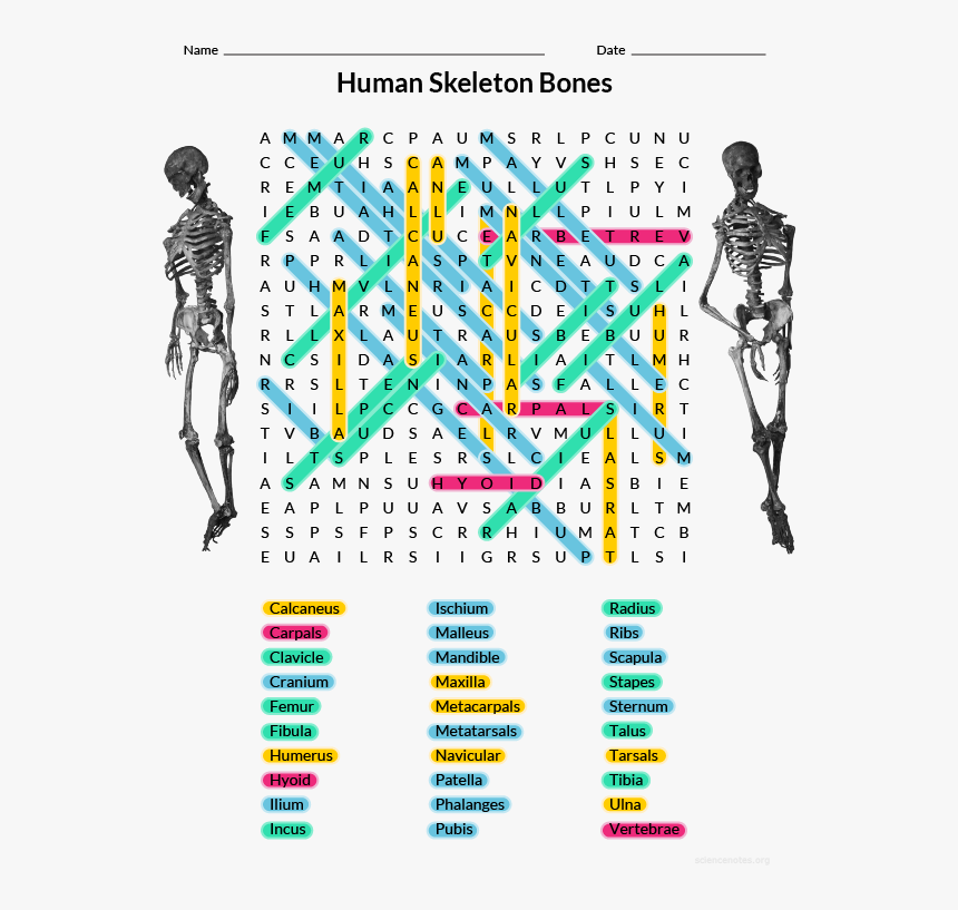 Human Bones Word Search Answers, HD Png Download, Free Download