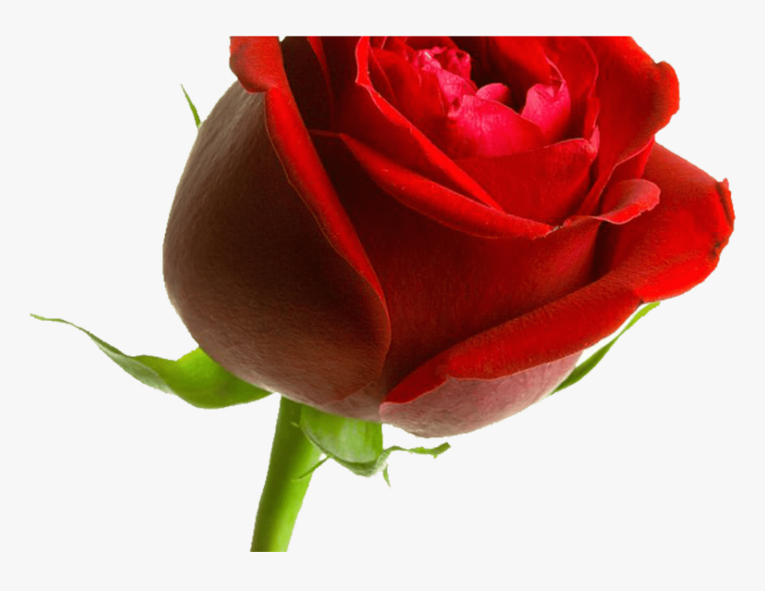 Rosa ,en Formato Png Rosa Pinterest - Dont Say Sorry Love, Transparent Png, Free Download