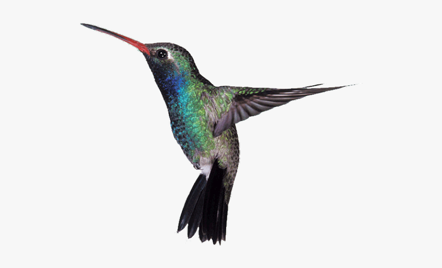 Hummingbird Png Transparent Images, Png Download, Free Download