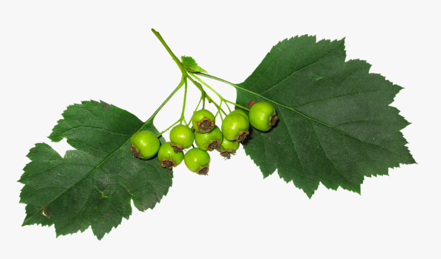 Leaves, Berry, Fruit, Green Leaves, Green, Stand-alone - Hojas Con Fruta, HD Png Download, Free Download