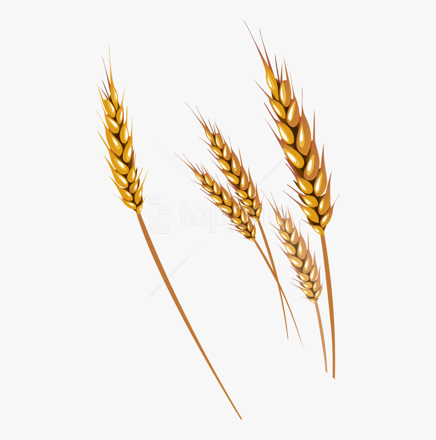 Wheat,food Grain,cereal Germ,triticale,einkorn Wheat,plant,elymus - Wheat Clipart Png, Transparent Png, Free Download
