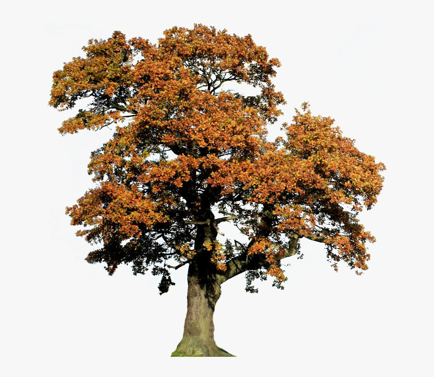 Clip Art Vector Freeuse Library Techflourish - Oak, HD Png Download, Free Download