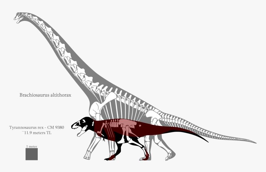 Brontosaurus Drawing Sauroposeidon - Brachiosaurus Compared To T Rex, HD Png Download, Free Download