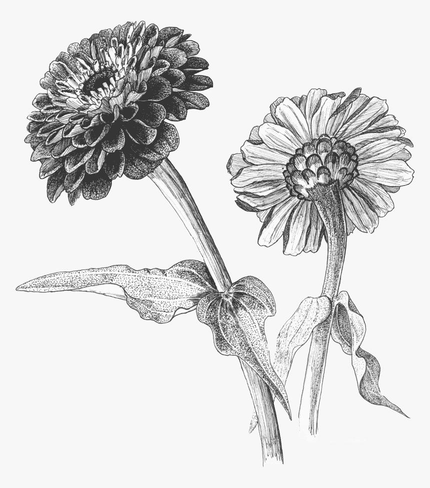 пальцев циния цветок рисунок фотографии