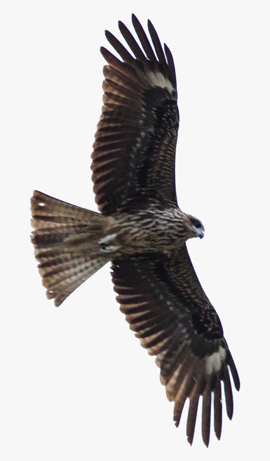 Bird Of Prey Hawk Eagle Gaviao Voando Png Transparent Png Kindpng