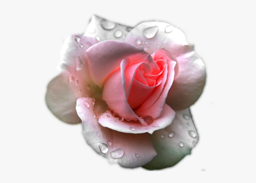 Transparent Clipart Image Pink Rose With Water Effect - Black Rose, HD Png Download, Free Download
