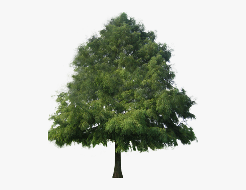 Cypress Tree Png - Pine Non Flowering Plants, Transparent Png, Free Download