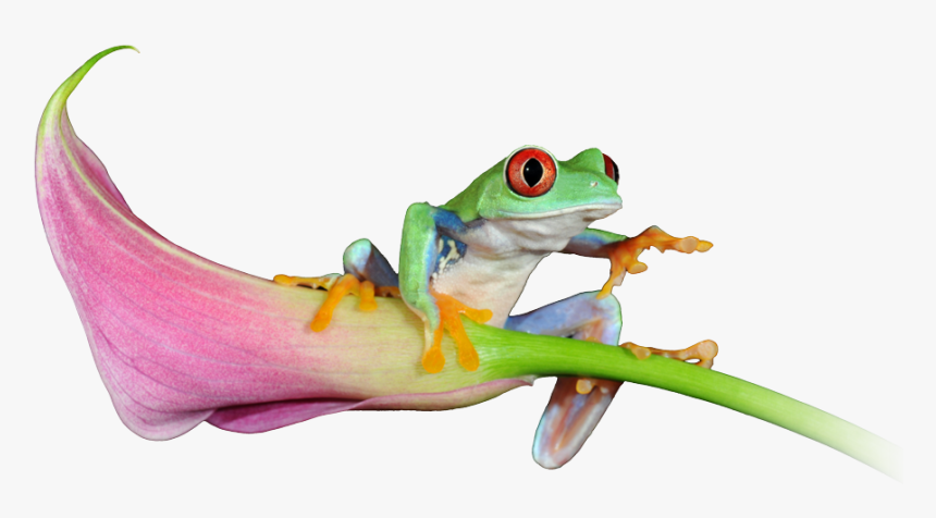 See Our Latest Website Projects - Red-eyed Tree Frog, HD Png Download, Free Download