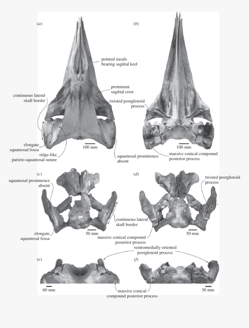 Comparison And Shared Features Of The Skulls Of The - Whale Skulls Comparison, HD Png Download, Free Download