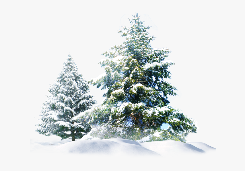 Pine Trees Snow Png, Transparent Png, Free Download