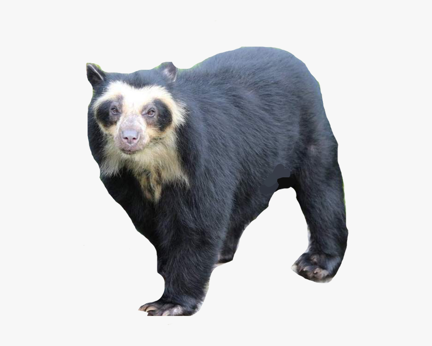 Spectacled Bear Vector By Phoenixtdm Dcek9fs-fullview - Spectacled Bear South American Bear, HD Png Download, Free Download