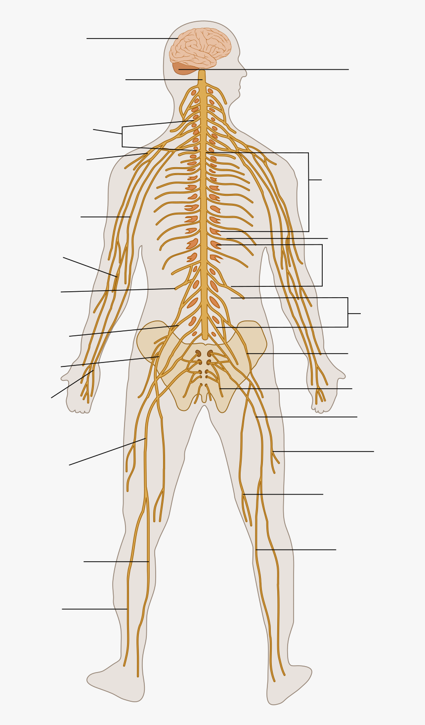 Lower Body Nervous System, HD Png Download, Free Download