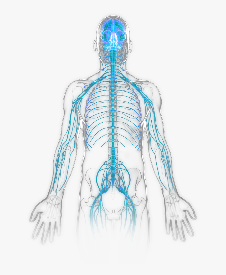 Nervous System Becomes Active - Unlabeled Nervous System Clipart, HD Png Download, Free Download